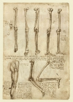 140r_Anatomical_Studies_19008r_140r