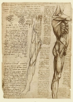 148v_Anatomical_Studies_19014v_148v