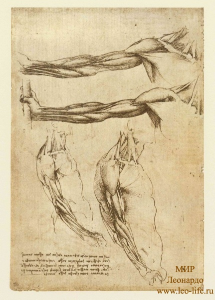145v_Anatomical_Studies_19011v_145v