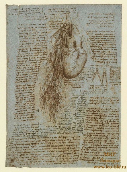 162r_Anatomical_Studies_19071r_162r